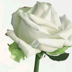 rosa_blanca_de_laguelo_miguel.jpg