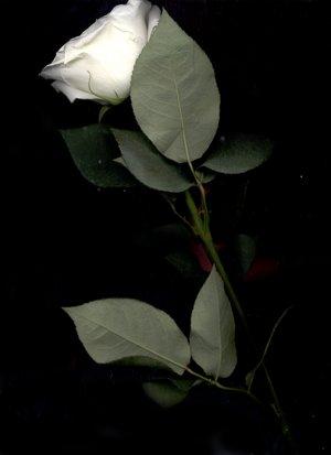 rosa_blanca_3